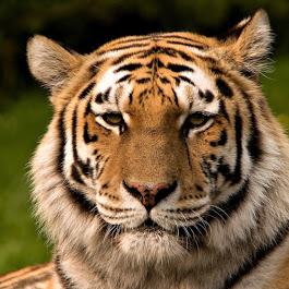 Tiger Community